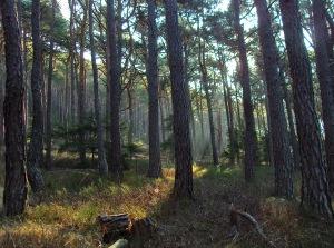 Kiefernwald im Morgenlicht