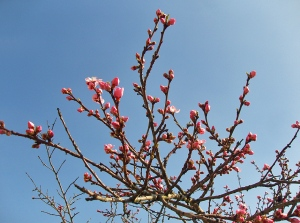 Blütenpracht am Mandelpfad