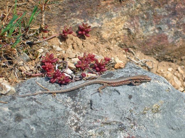 Eidechsen sonnen sich auf den Felsen