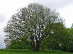 4 Stämme - ein Baum