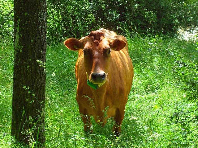Wanderer sind hier nicht so oft gesehen - die Kuh schaut erstaunt