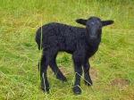 schwarzes Lamm