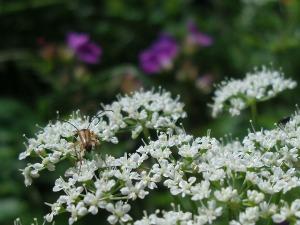Blüten und Käfer