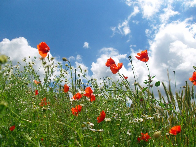 Sommer und roter Mohn