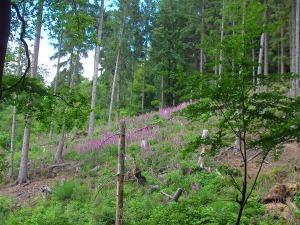 Blütenhochzeit für den roten Fingerhut