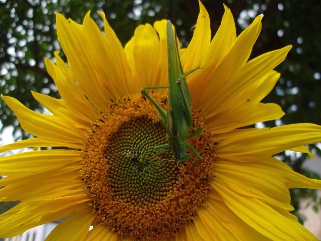 Sonnenblume mit Grünem Heupferd