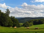 Glückliche Kühe auf den weiten Wiesen
