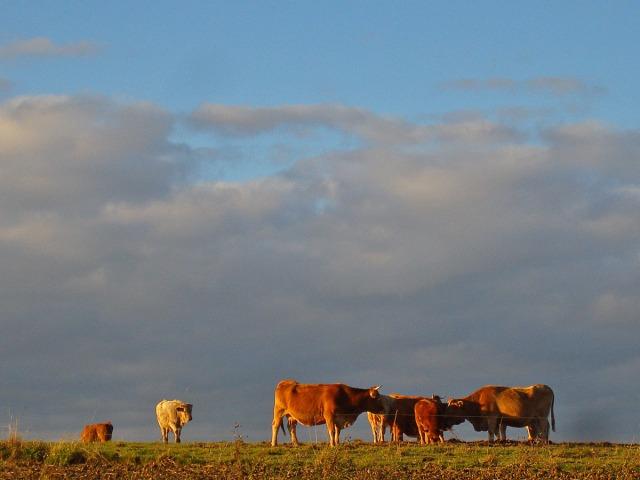 Kühe in der Nachmittagssonne
