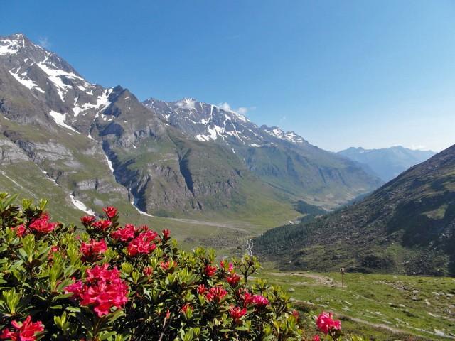 Alpenrosen und der Blick ins Tal