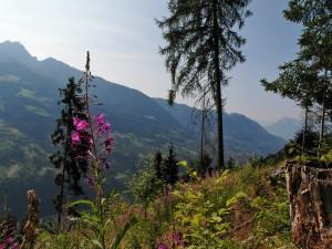 Waldweidenröschen