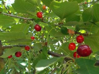 Blick in den Kirschbaum
