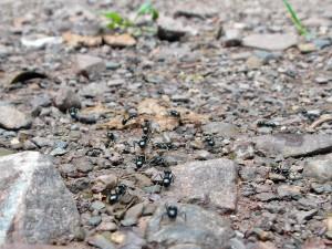 Geschäftige Ameisen