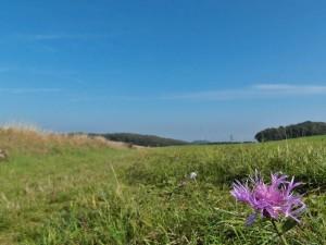 Wiesenflockenblume und Burg Olbrück im Sichtweite