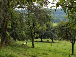 Schafe auf den Obstwiesen