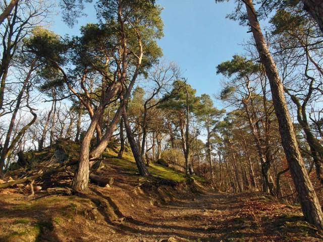 Herrliche Kiefern und Sonne auf dem Hornberg