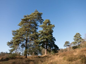 Eine Runde in der Wahner Heide - Kiefern, Sand & Heidegras
