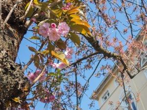Kirschblüte Altstadt