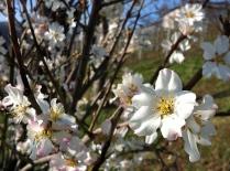 Mandelblüte (März 2012)