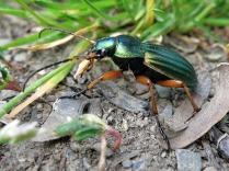 Käfer mit Sonderlackierung ;-)